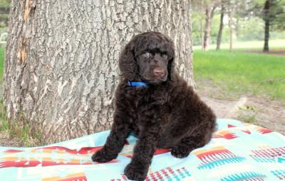 Standard Poodles   Solo Standards - Visit Now!